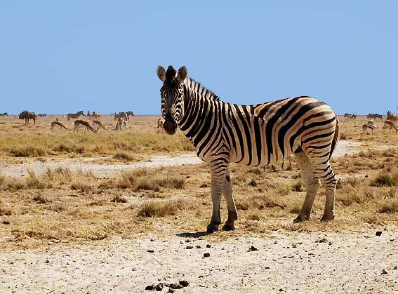 Dessins en couleurs imprimer animaux carnivores - Animaux d afrique coloriage ...