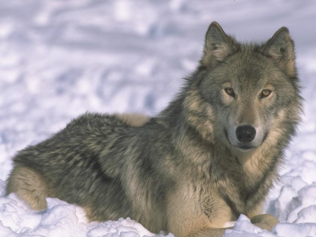 Populaire en couleurs à imprimer : Animaux - Animaux carnivores numéro 684498 IC12