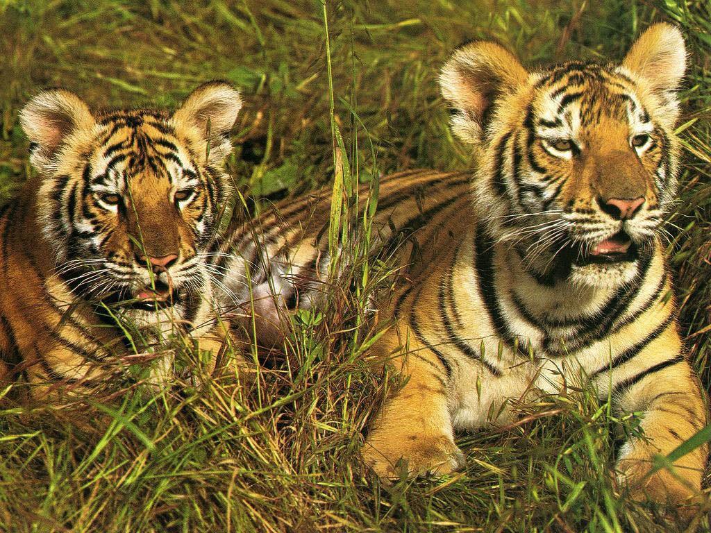 Populaire Dessin en couleurs à imprimer : Animaux - Animaux carnivores  IC12