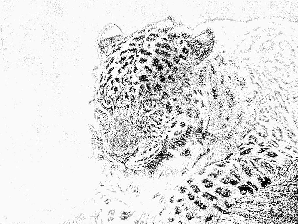 Coloriage de guepard a colorier - Guepard dessin ...