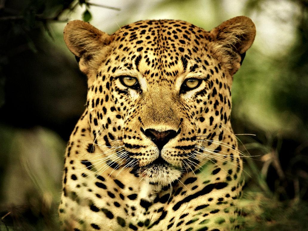 Dessins en couleurs imprimer guepard num ro 684566 - Guepard dessin ...