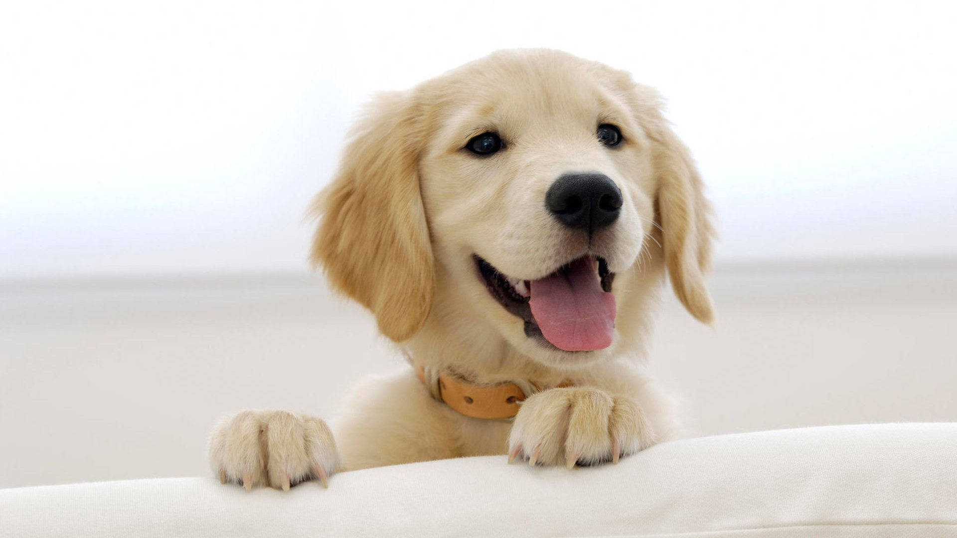 Image de chien a imprimer en couleur image de - Dessin golden retriever ...