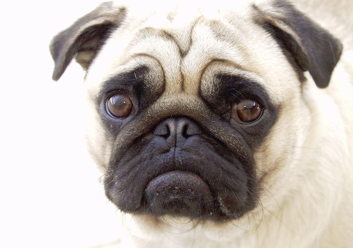 Download Pug Dog Hd Wallpaper Gallery: Dessins En Couleurs à Imprimer : Chien, Numéro : 692464