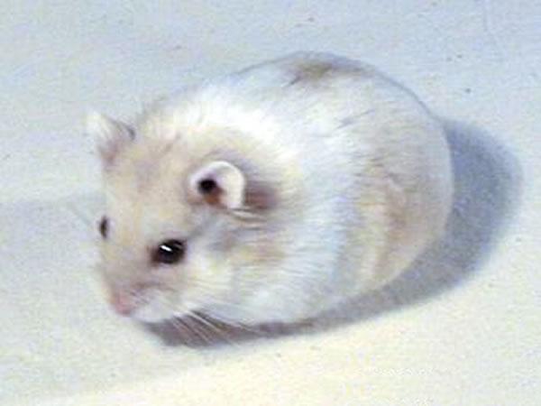 Dessins en couleurs à imprimer : Hamster, numéro : 39250