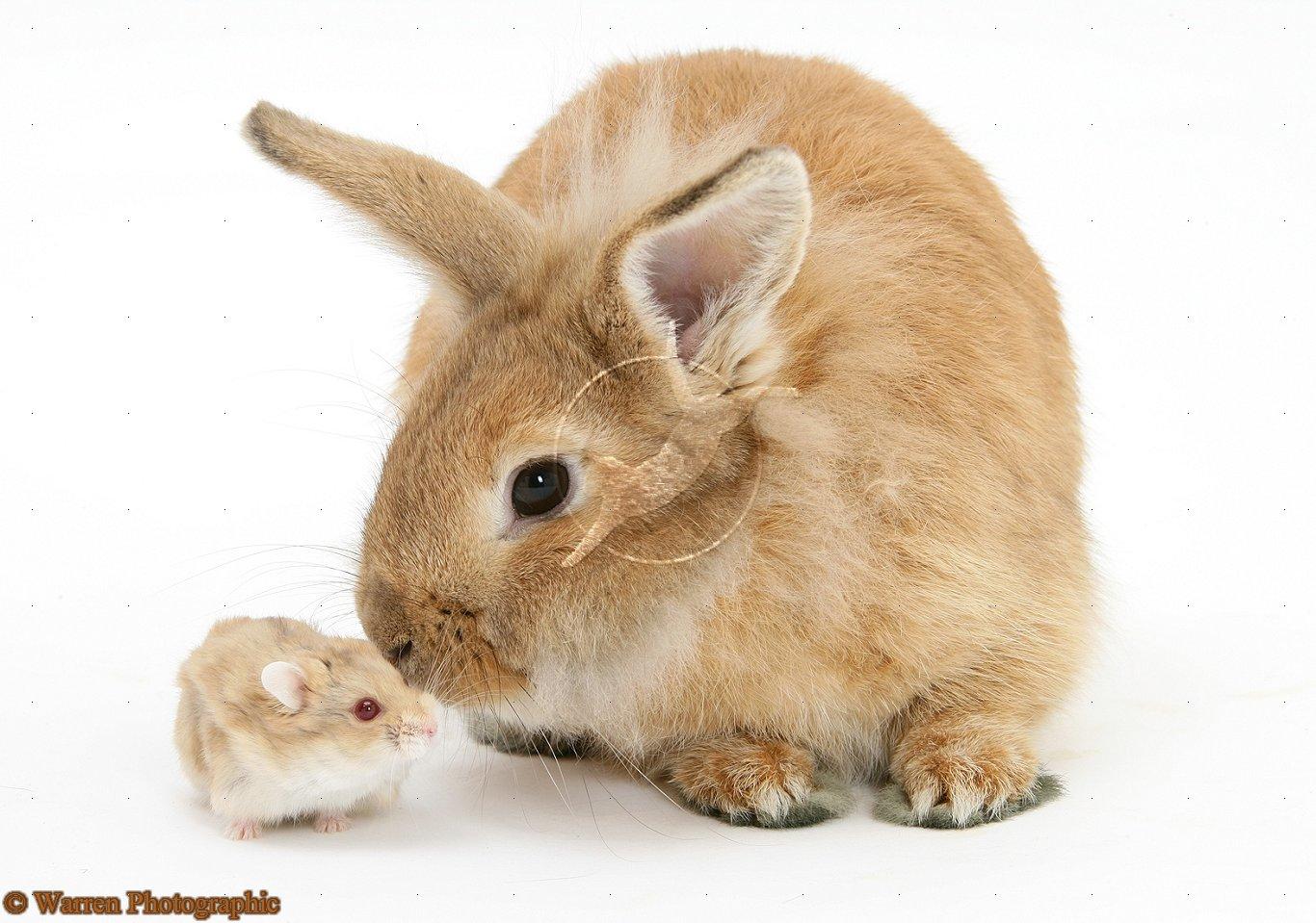 Dessins en couleurs à imprimer : Hamster, numéro : 70592