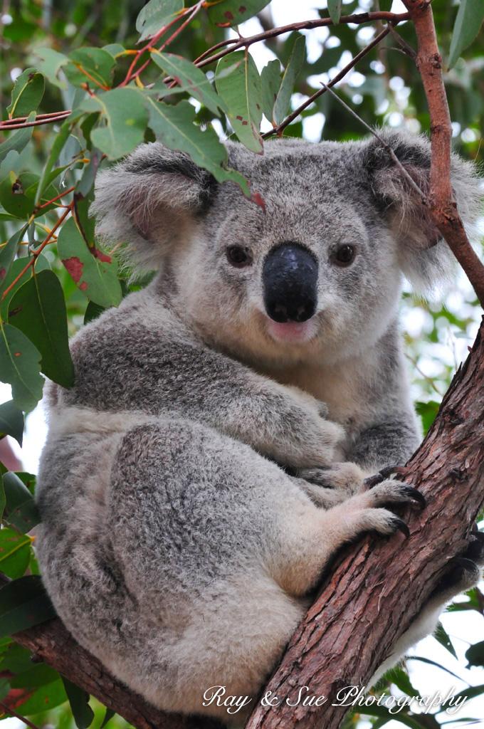 Dessins en couleurs imprimer koala num ro 689823 - Animaux a imprimer en couleur ...