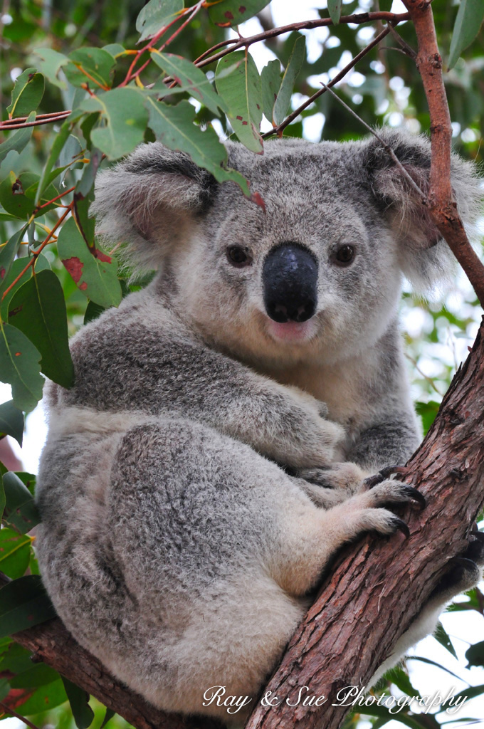 photo de koala imprimer. Black Bedroom Furniture Sets. Home Design Ideas
