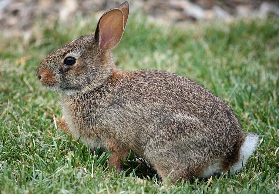 Dessins en couleurs imprimer lapin num ro 683138 - Dessin oreille de lapin ...