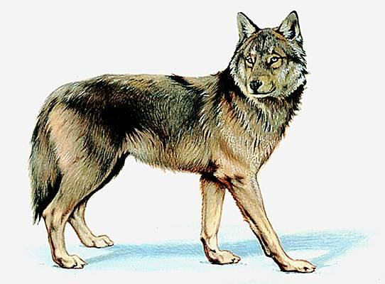 Dessins en couleurs imprimer loup num ro 20748 - Image de loup a imprimer ...