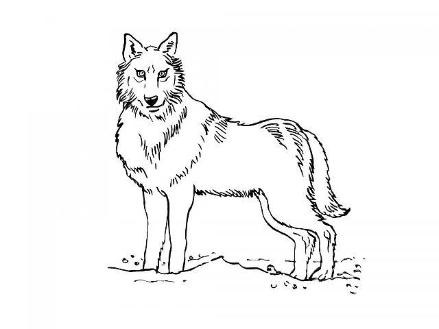 Coloriages à imprimer : Loup, numéro : 3987