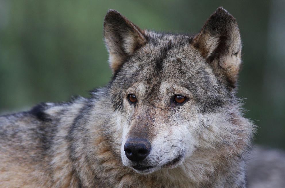 Dessins en couleurs imprimer loup num ro 692612 - Image de loup a imprimer ...
