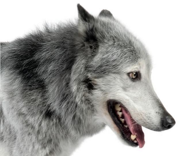Dessins en couleurs imprimer loup num ro 692616 - Image de loup a imprimer ...