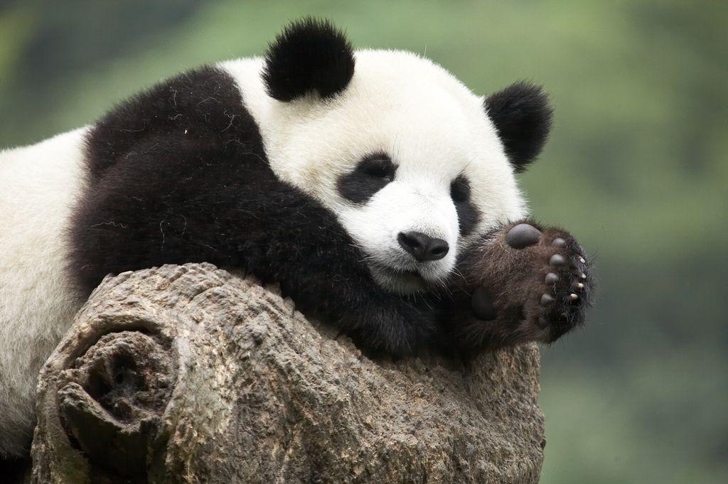 Dessins En Couleurs 224 Imprimer Panda Num 233 Ro 685836
