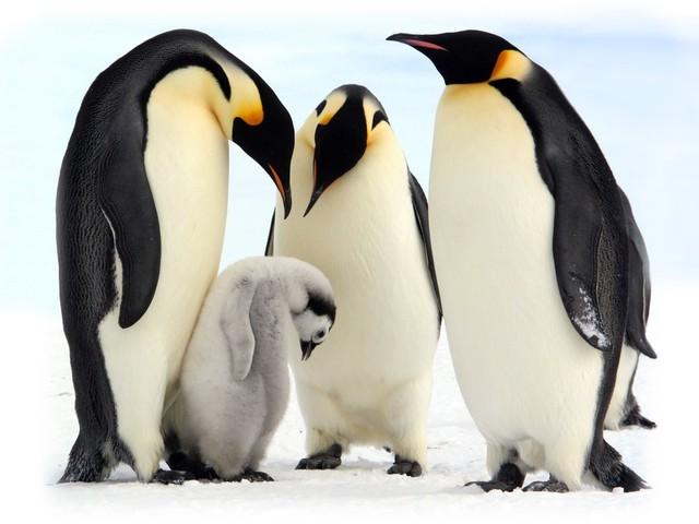 Dessins en couleurs à imprimer : Pinguoin, numéro : 683108