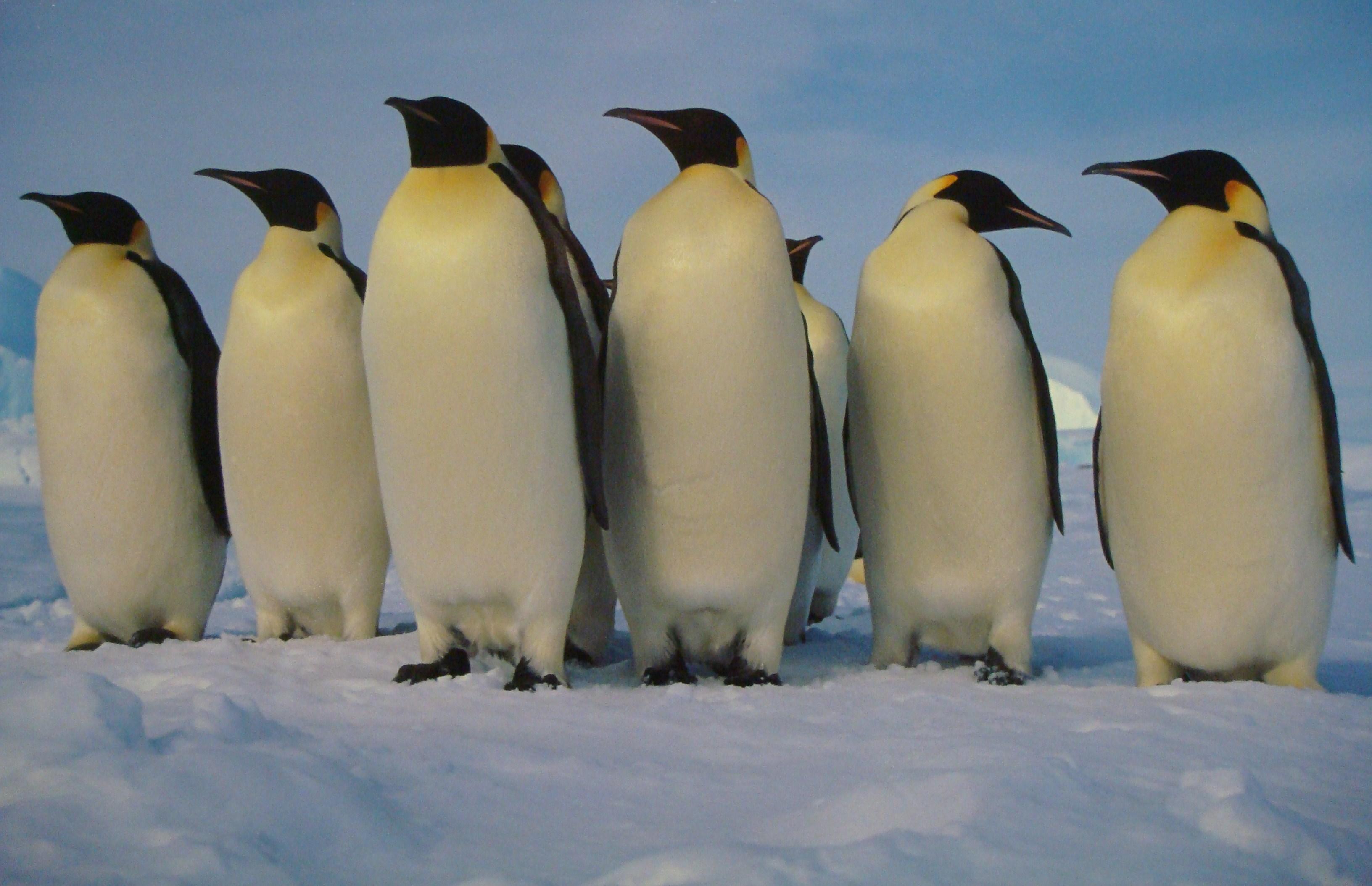 Dessins en couleurs à imprimer : Pinguoin, numéro : 683114
