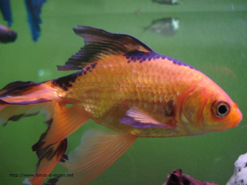 Dessin en couleurs imprimer animaux poisson num ro for Nom poisson rouge