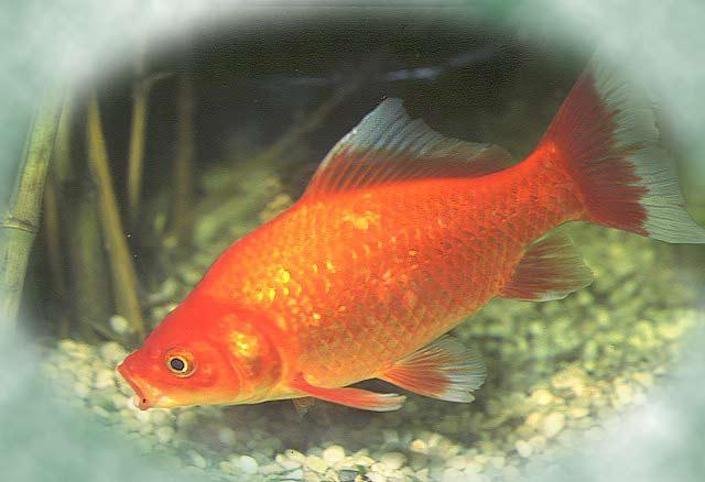 Dessin en couleurs imprimer animaux poisson num ro for Prix des poissons rouges