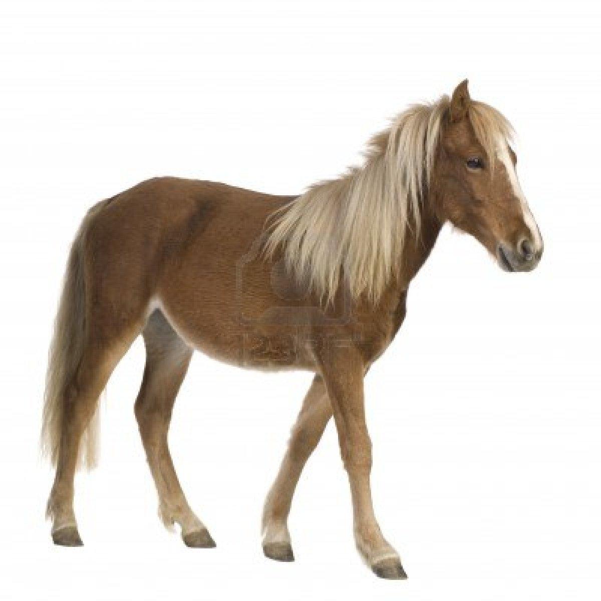 Poney Shetland (2 Ans) En Face De Fond Blanc Banque D'Images, Photos ... Running Horse Png