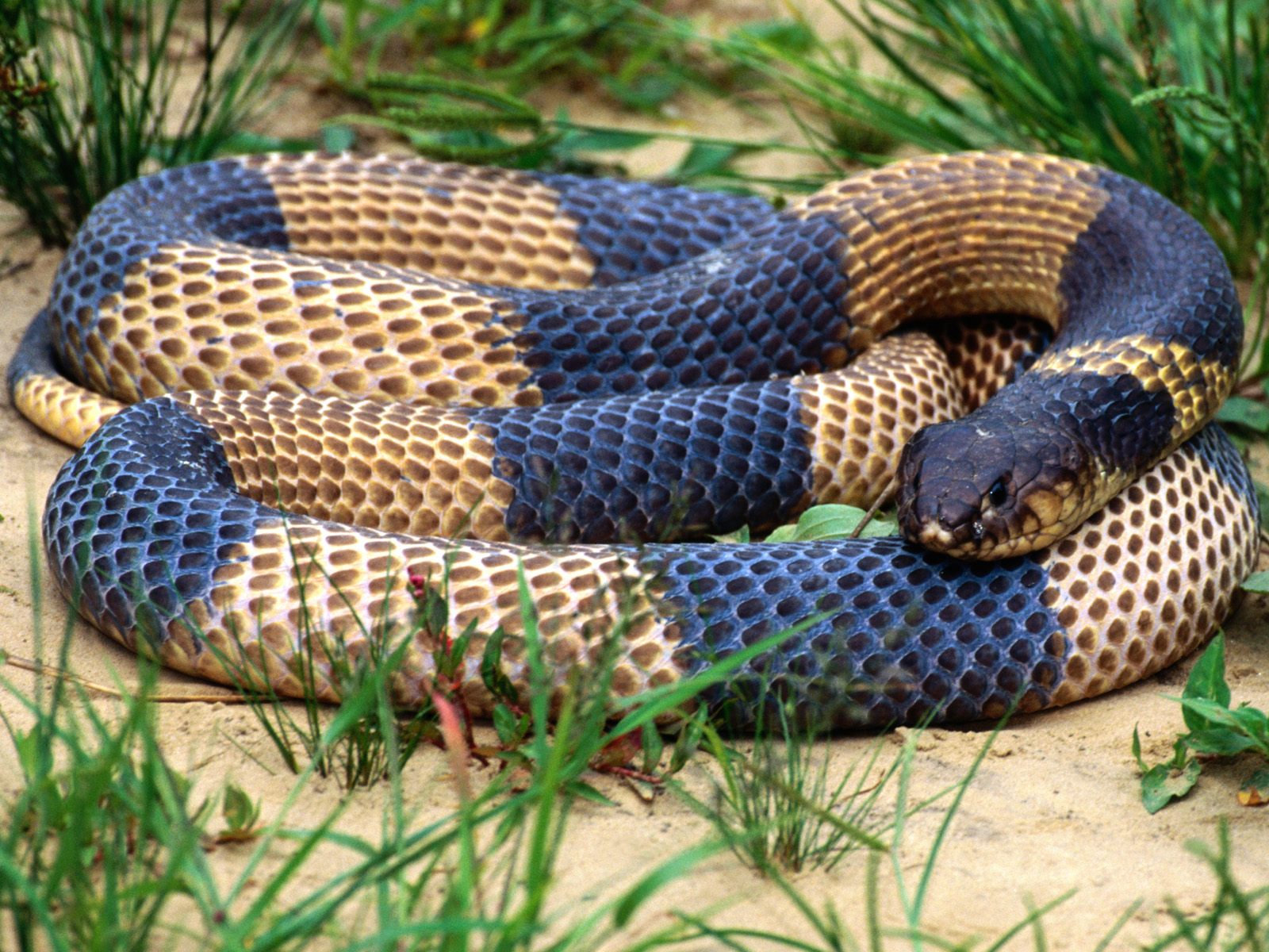 King Snake Hd Pictures Fantastic Snake Wallpaper: Dessins En Couleurs à Imprimer : Serpent, Numéro : 692843