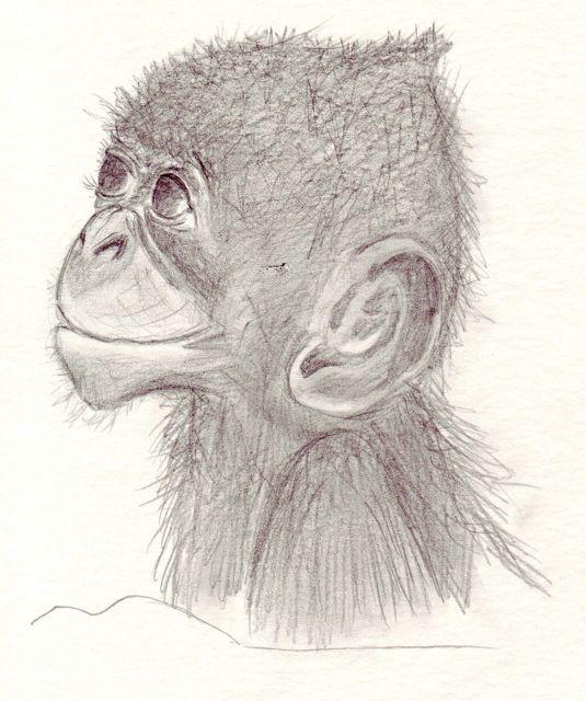 Dessins en couleurs imprimer singe num ro 152371 - Singe a dessiner ...