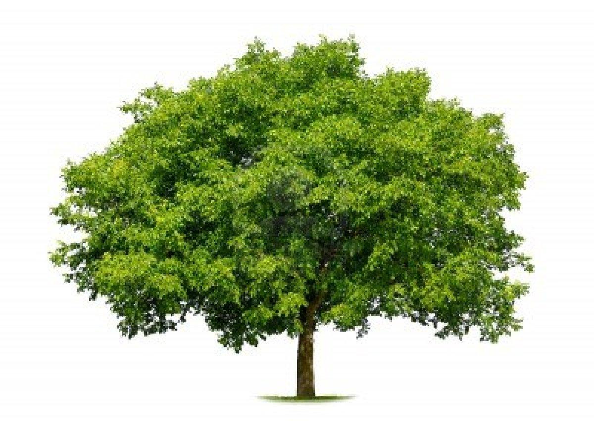 arbre feuillage persistant croissance rapide maison. Black Bedroom Furniture Sets. Home Design Ideas