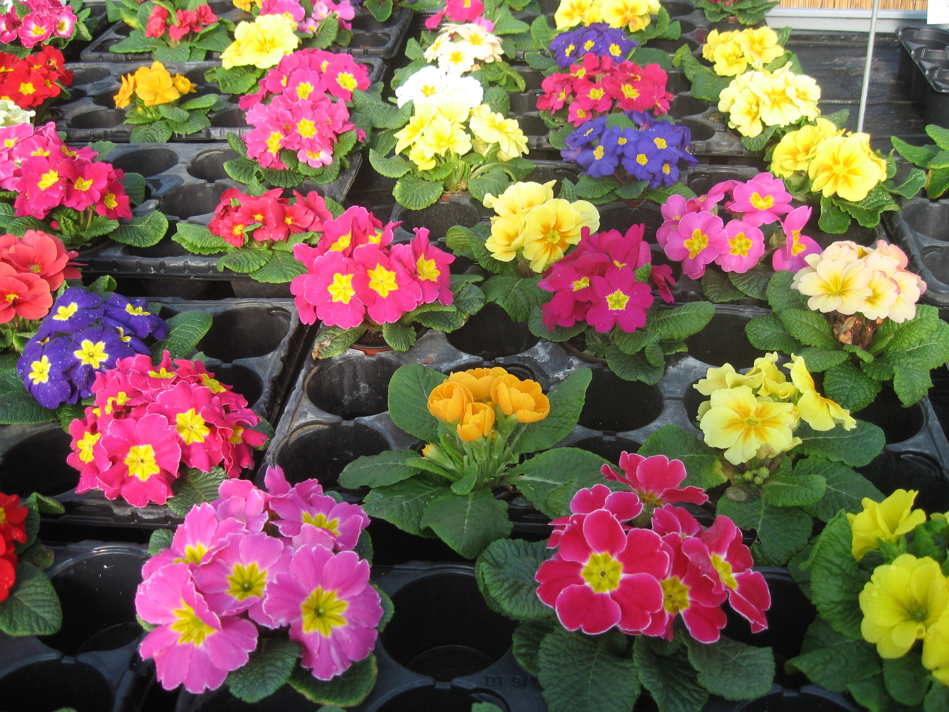 Dessins en couleurs imprimer fleurs num ro 683523 - Photo de fleur a imprimer ...