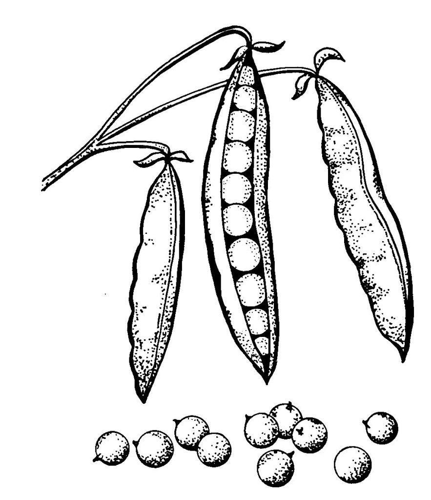 Coloriages à imprimer : Légumes, numéro : 13503