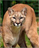 Imprimer le dessin en couleurs : Animaux carnivores, numéro 797eb5cc