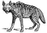 Imprimer le coloriage : Hyène numéro 23946