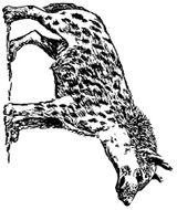 Imprimer le coloriage : Hyène numéro 23947
