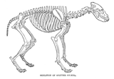 Imprimer le coloriage : Hyène numéro 23956