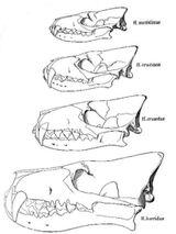 Imprimer le coloriage : Hyène, numéro 27539