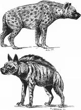 Imprimer le coloriage : Hyène numéro 28194