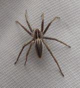 Imprimer le dessin en couleurs : Arachnides, numéro 25004