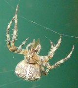 Imprimer le dessin en couleurs : Arachnides, numéro 25010