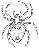 Imprimer le coloriage : Araignée, numéro 25722