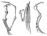 Imprimer le coloriage : Pterodactyle, numéro 220311