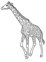 Imprimer le coloriage : Girafe, numéro 2243c1c3