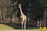 Imprimer le dessin en couleurs : Girafe, numéro 30094e66