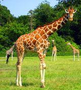 Imprimer le dessin en couleurs : Girafe, numéro 6177a879
