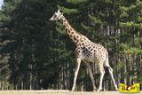 Imprimer le dessin en couleurs : Girafe, numéro 6c924a73