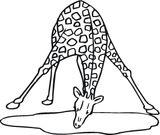 Imprimer le coloriage : Girafe, numéro 78488be1