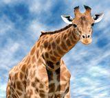Imprimer le dessin en couleurs : Girafe, numéro be910152
