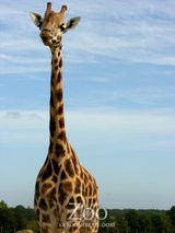 Imprimer le dessin en couleurs : Girafe, numéro d64de7a3