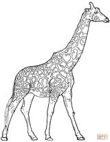Imprimer le coloriage : Girafe, numéro d6ece58d