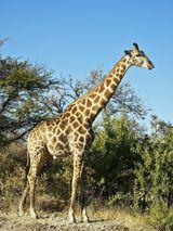 Imprimer le dessin en couleurs : Girafe, numéro e9f528f1