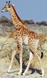 Imprimer le dessin en couleurs : Girafe, numéro ed1a1f73