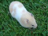 Imprimer le dessin en couleurs : Hamster, numéro 64e23ef4
