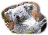 Imprimer le dessin en couleurs : Koala, numéro 602438