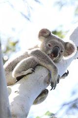 Imprimer le dessin en couleurs : Koala, numéro 615997